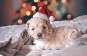 A Pup for Christmas!  Now What?
