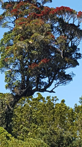 Northern Red Rata