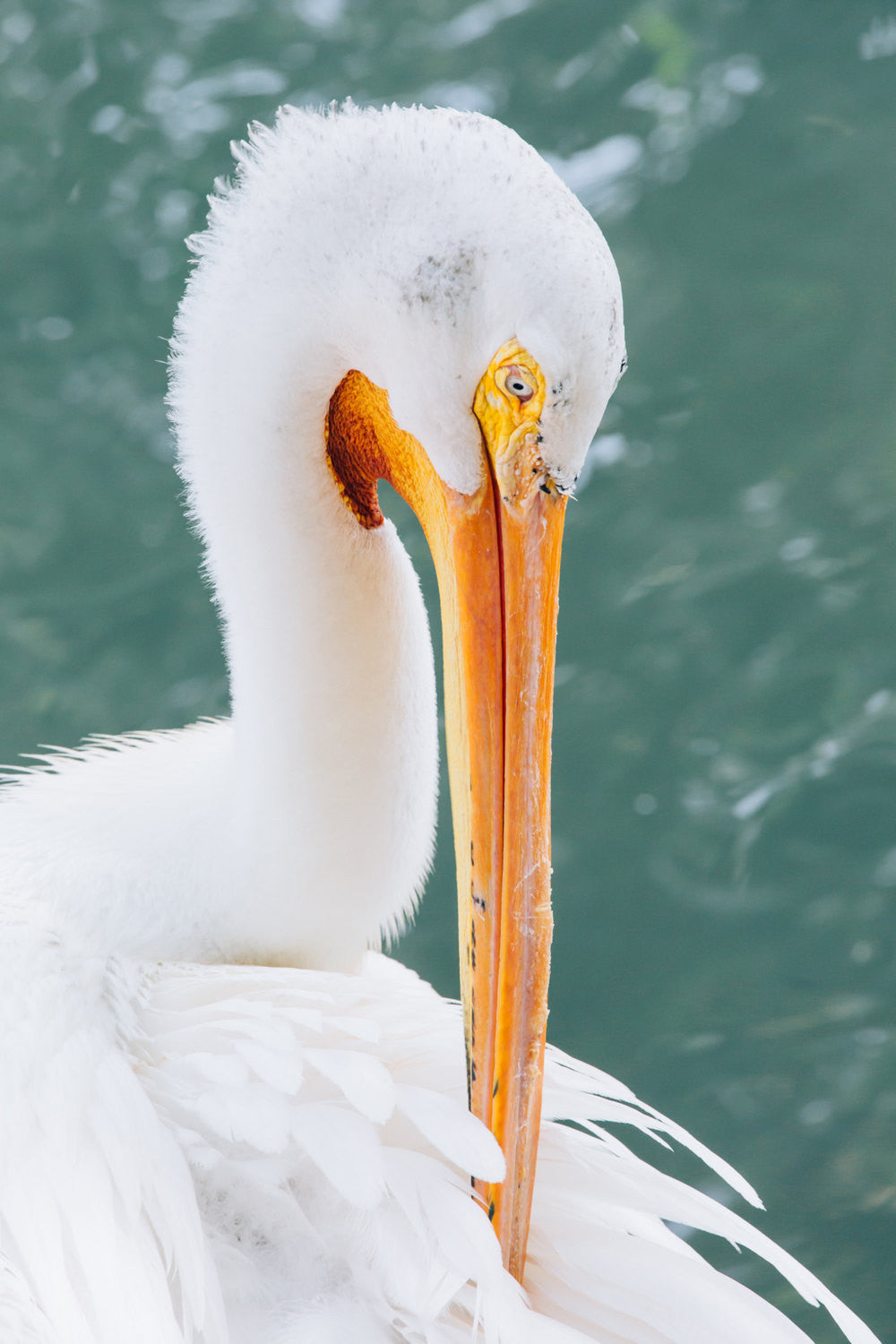 beach photography, beach house decor, pelican photography, bird photography, animal photography, bold colors, aqua, white, yellow, large art