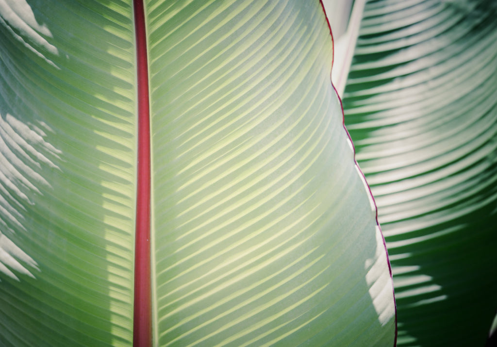 botanical photography, botanical art, sage, canvas gallery wrap, large wall art, tropical decor, tropical art, beach house, minimalist green