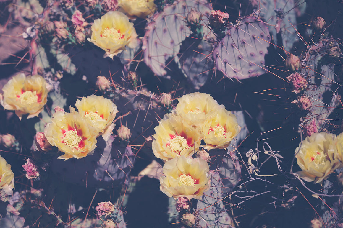 cactus photography, southwest photography, texas photography, prickly pear, western art, boho style, large wall art, southwestern decor,