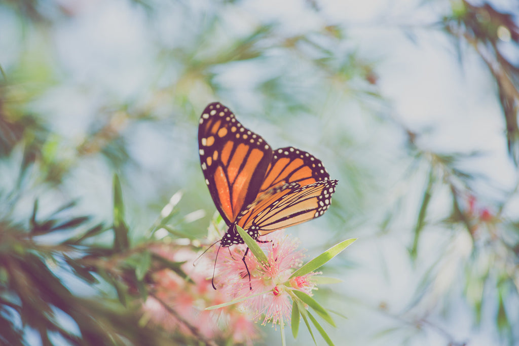 Butterfly photography, monarch butterfly, summer decor, nature photography, girls room decor, romantic art, butterfly art, large wall art