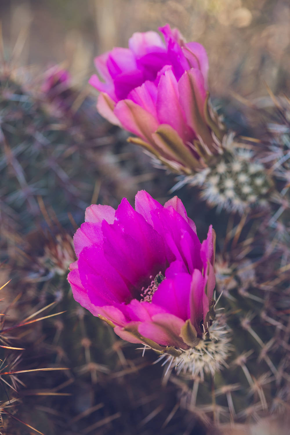 Cactus photography, cactus blooms, desert photography, joshua tree, cactus art, fuchsia, pink, southwestern decor, boho, bohemian, large art
