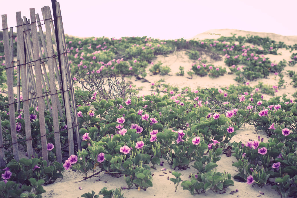 Beach photography large wall art canvas gallery wraps cottage decor beach house rustic pink flowers sunrise print rustic fence ocean