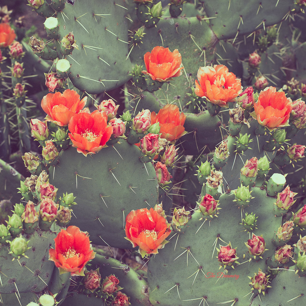 Texas photography, cactus photography, prickly pear, orange decor, vintage retro landscape southwest print bold western decor - Flamenco