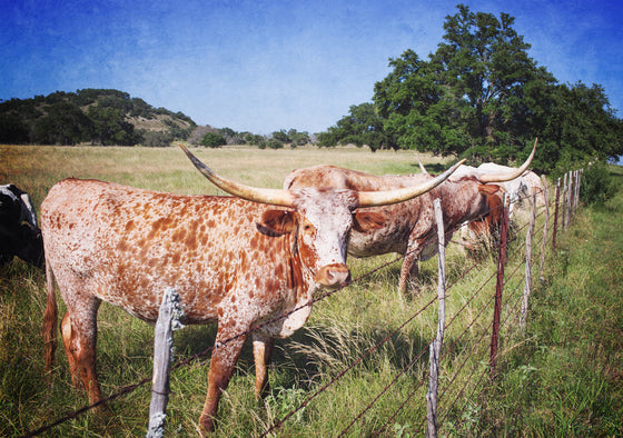 texas longhorn photograph, texas photography texas landscape longhorns texas decor rustic decor masculine man cave decor longhorn art cattle