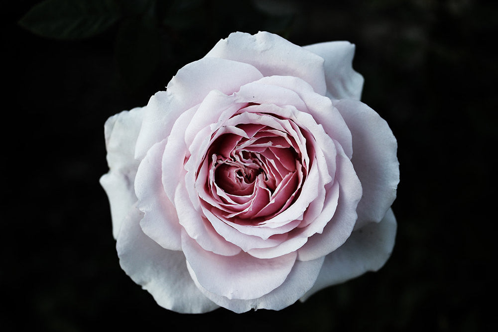 rose photography, macro photography, pink roses, bold art, flower photography, large wall art,  black background, roses