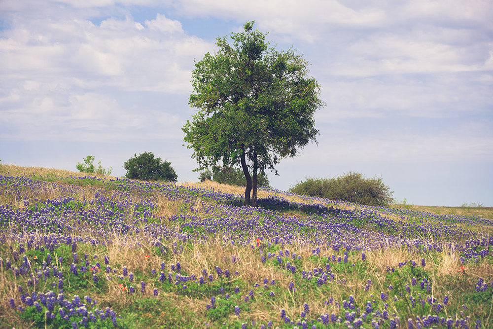 texas photography, bluebonnet prints, texas landscape, rustic decor, rural texas, blue, green, landscape photography, rustic, texas decor
