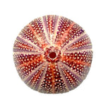 "Sea Urchin | English Channel (4""- 4.5"")"