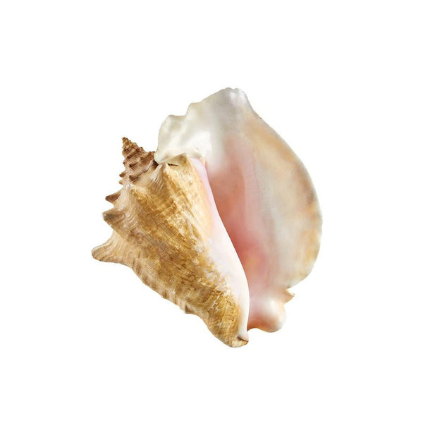 Pink conch sea shells seashells at FantaSea Coastal Home beach house decor