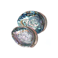 Green abalone sea shells seashells at FantaSea Coastal Home beach house decor