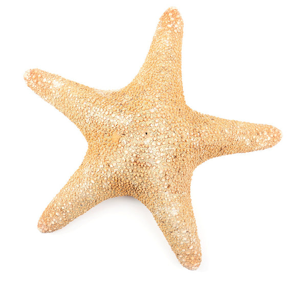 Real brown jungle starfish sea stars at FantaSea Coastal Home Sarasota