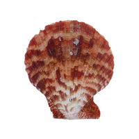 "Sea Shells | Pectin Scallop Shell (3"")"