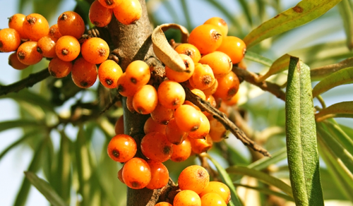 5 quirky but true facts about sea buckthorn berry