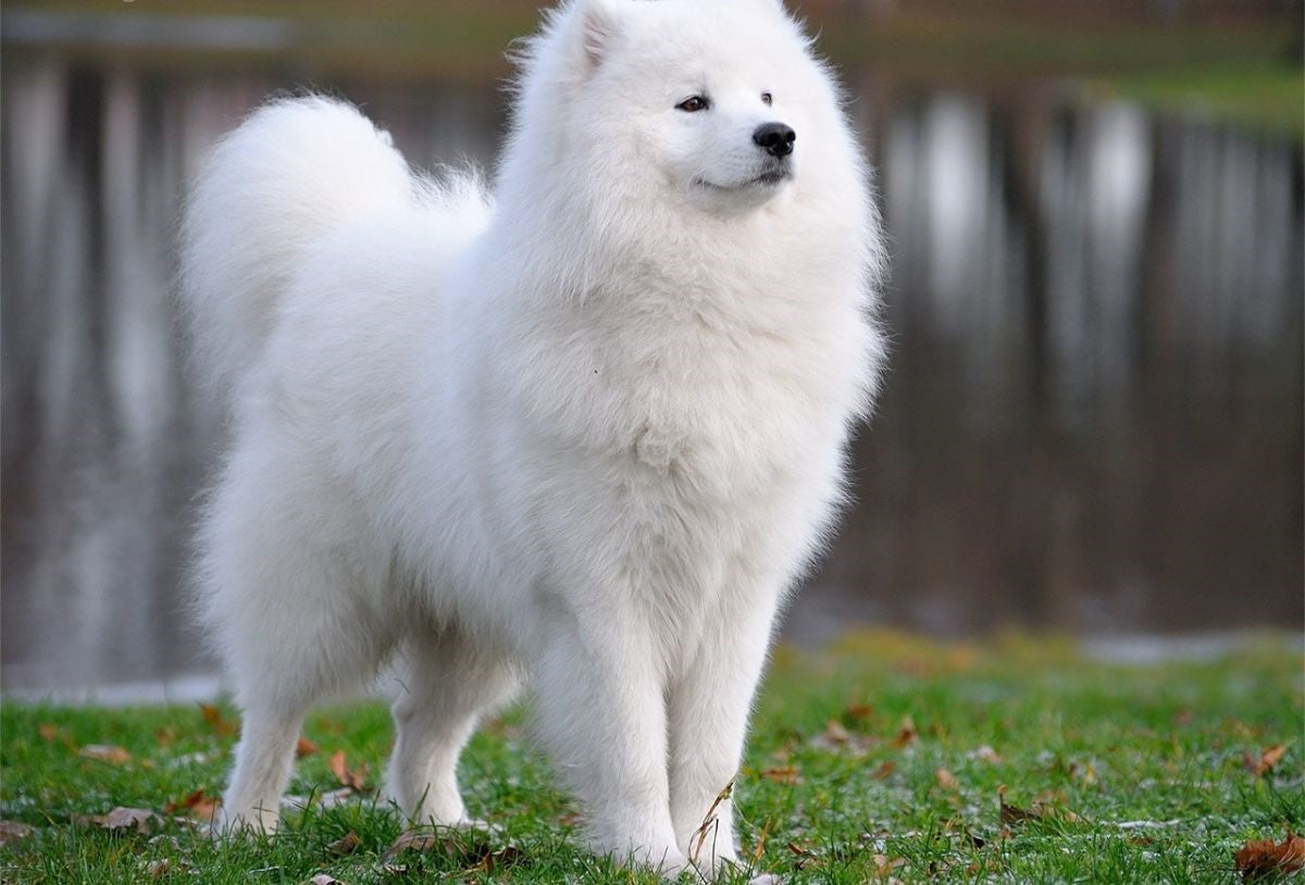 Is the Samoyed Breed a Hypoallergenic Dog?