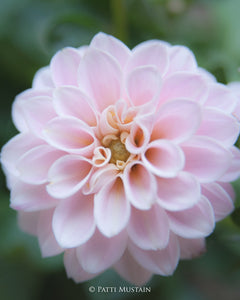 Dahlia in Soft Pink