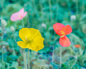 Poppies of Many Colors