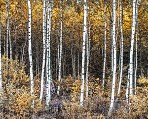 Impression of Birch