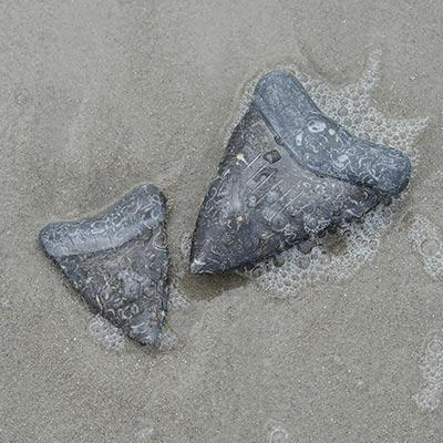 Small Marble Megalodon Shark Tooth - MBRI001068