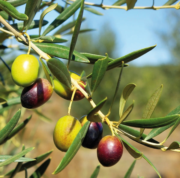 Flaminio, the high quality olive oil from the hills of Umbria
