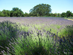 Lavender field in Solvang, California - Ref: 715