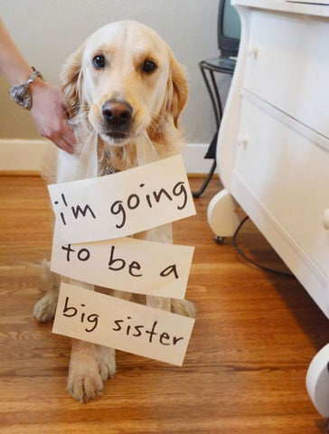 pregnancy announcement dog