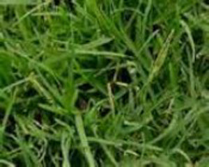 COMMON BERMUDAGRASS, HULLED COATED