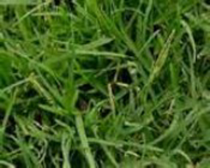 COMMON BERMUDAGRASS, UNHULLED COATED