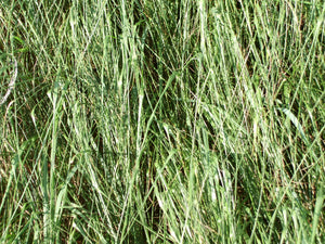 Tiffany Teff Grass
