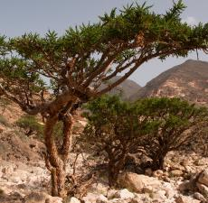 Frankincense - The King of Essential Oils - ithriveX