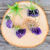 Natural Amethyst with Air Plant