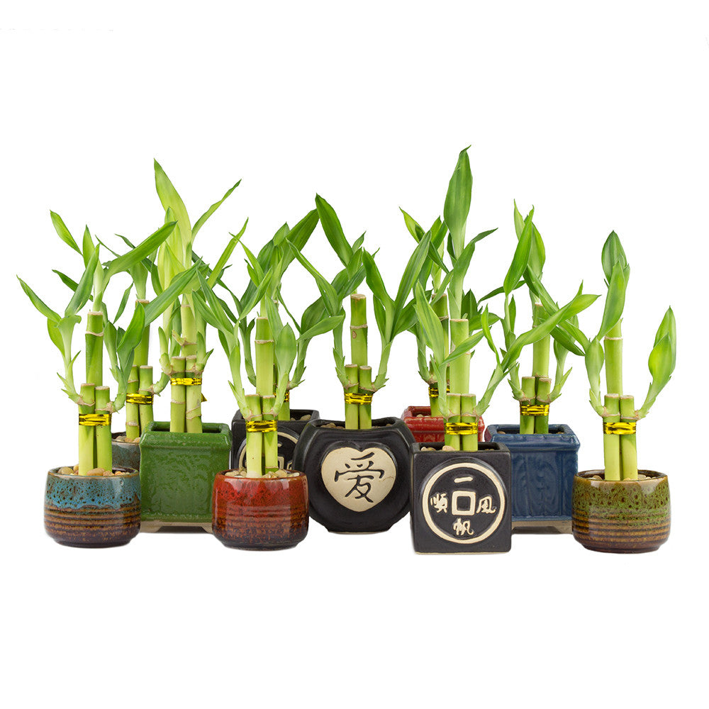 Lucky bamboo stalks in pots collection