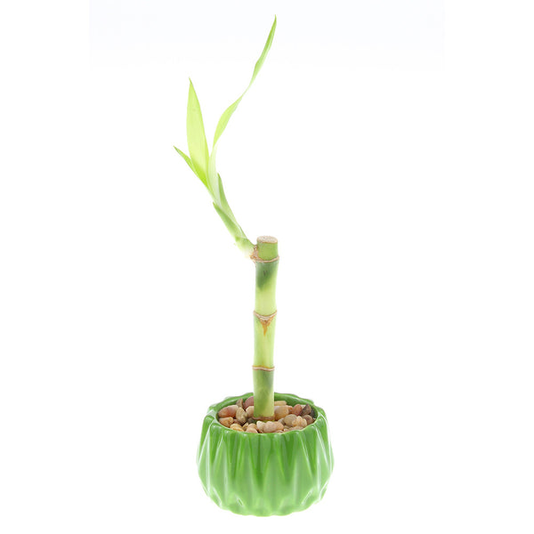 Single Stalk Lucky Bamboo with Accented Pot - 3 Colors to Choose From