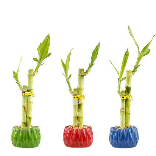Two Stalk Lucky Bamboo with Round Accent Pot - 4 Colors to Choose From