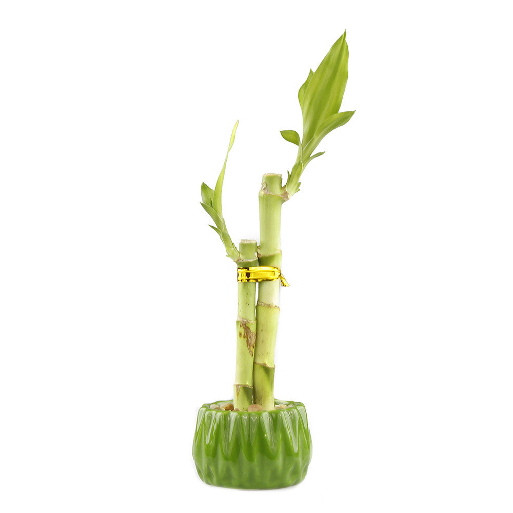 Lucky bamboo two stalk arrangement with green round planter pot