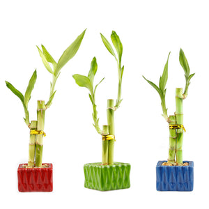 Two Stalk Lucky Bamboo with Square Accent Pot - 3 Colors to Choose From