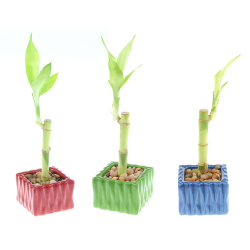 Single Stalk Lucky Bamboo with Square Accent Pot - 3 Colors to Choose From