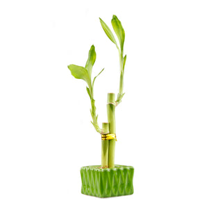 Lucky bamboo two stalk arrangement with green squared planter pot