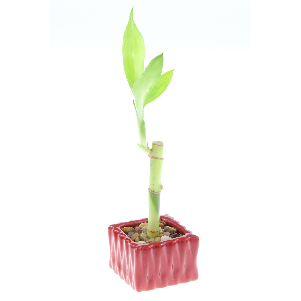 Single Stalk Lucky Bamboo with Square Accent Pot - 4 Colors to Choose From