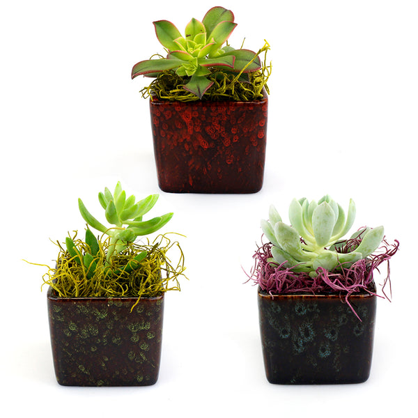 "Potted Succulents Collection - 15 Pots with 2"" Succulents and Spanish Moss"