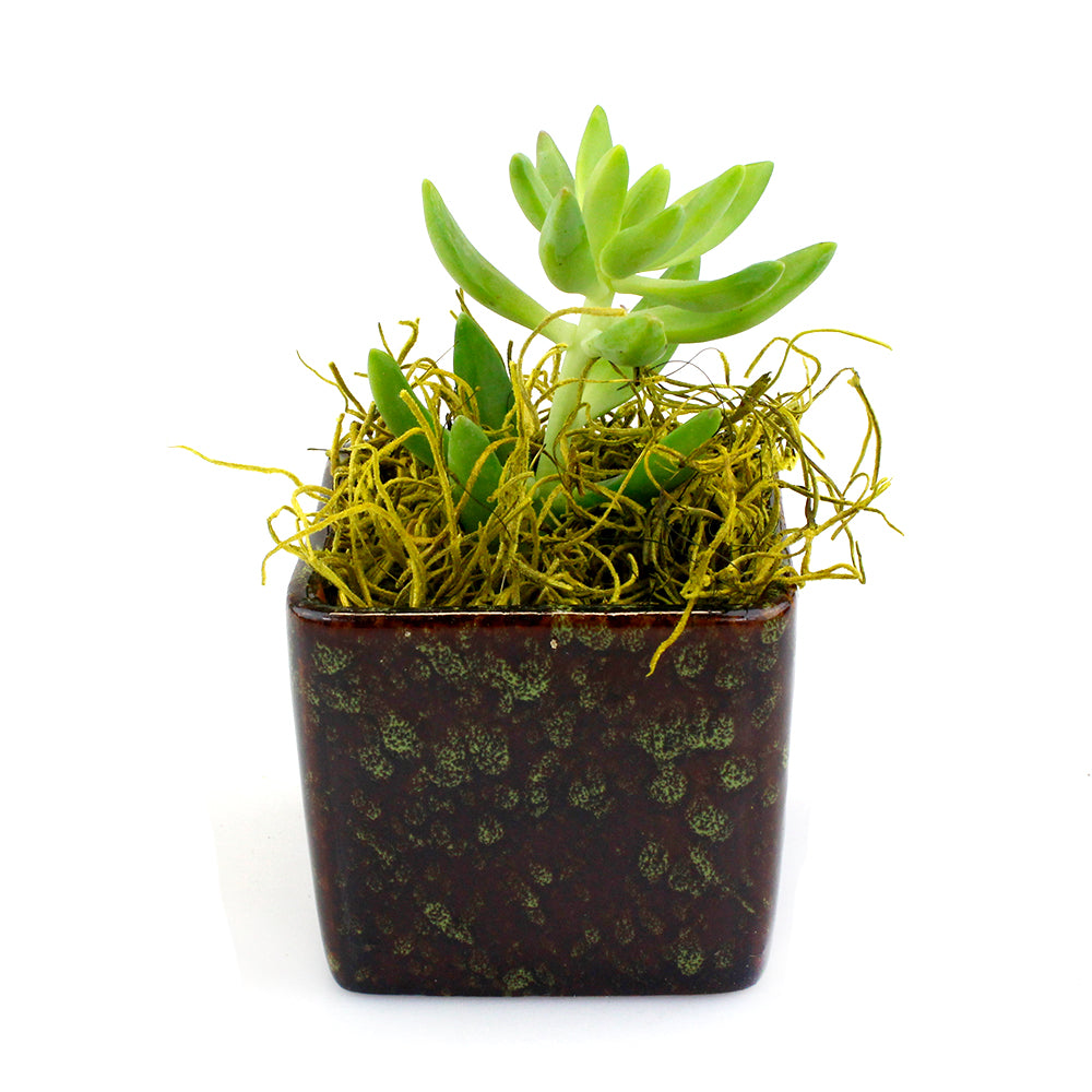 "2"" Succulent in Green Square Two Tone Pot"