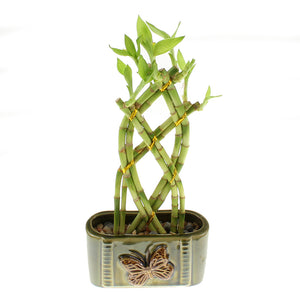 Live Lucky Bamboo 8 Stalk Braided Trellis with Green Ceramic Butterfly Design Planter