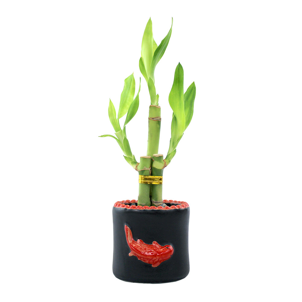 Three Stalk Lucky Bamboo with Round Red Koi Pot