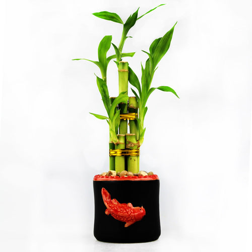 Lucky Bamboo Five Stalk Arrangement with Black Ceramic Red Koi Pot
