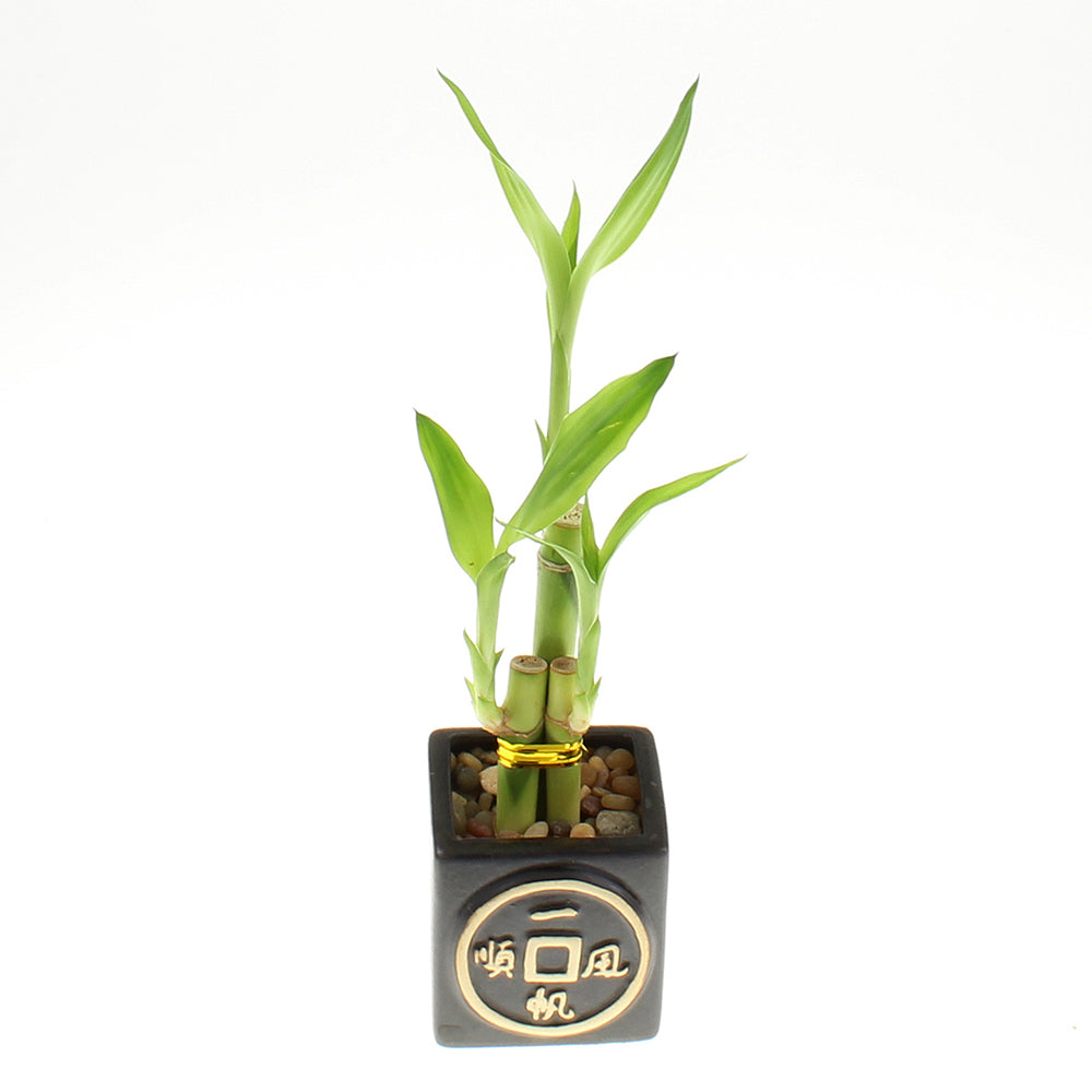 Three Stalk Lucky Bamboo with Square Black Asian Pot