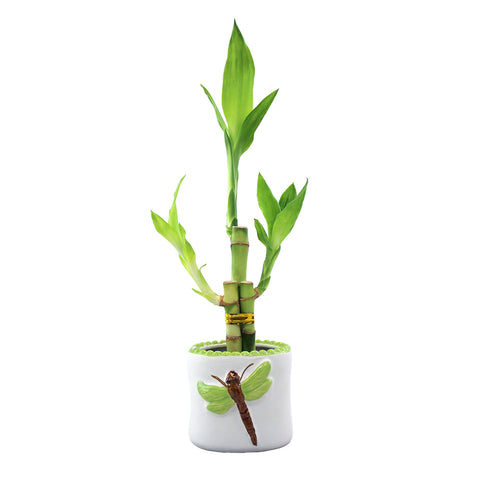 Three Stalk Lucky Bamboo with White Dragonfly Pot