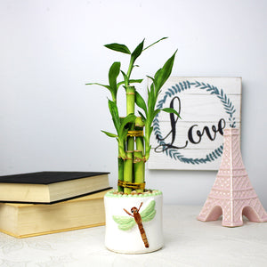 Lucky Bamboo Five Stalk Arrangement with White Ceramic Dragonfly Pot