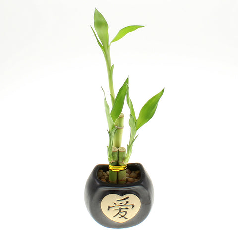 Three Stalk Lucky Bamboo with Chinese Design Pot