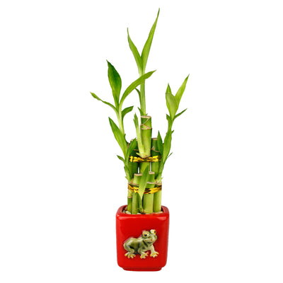 Lucky Bamboo Five Stalk Arrangement with Frog Pot