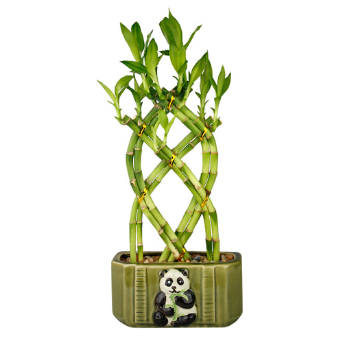 Live Lucky Bamboo 8 Stalk Braided Trellis with Green Ceramic Panda Design Planter